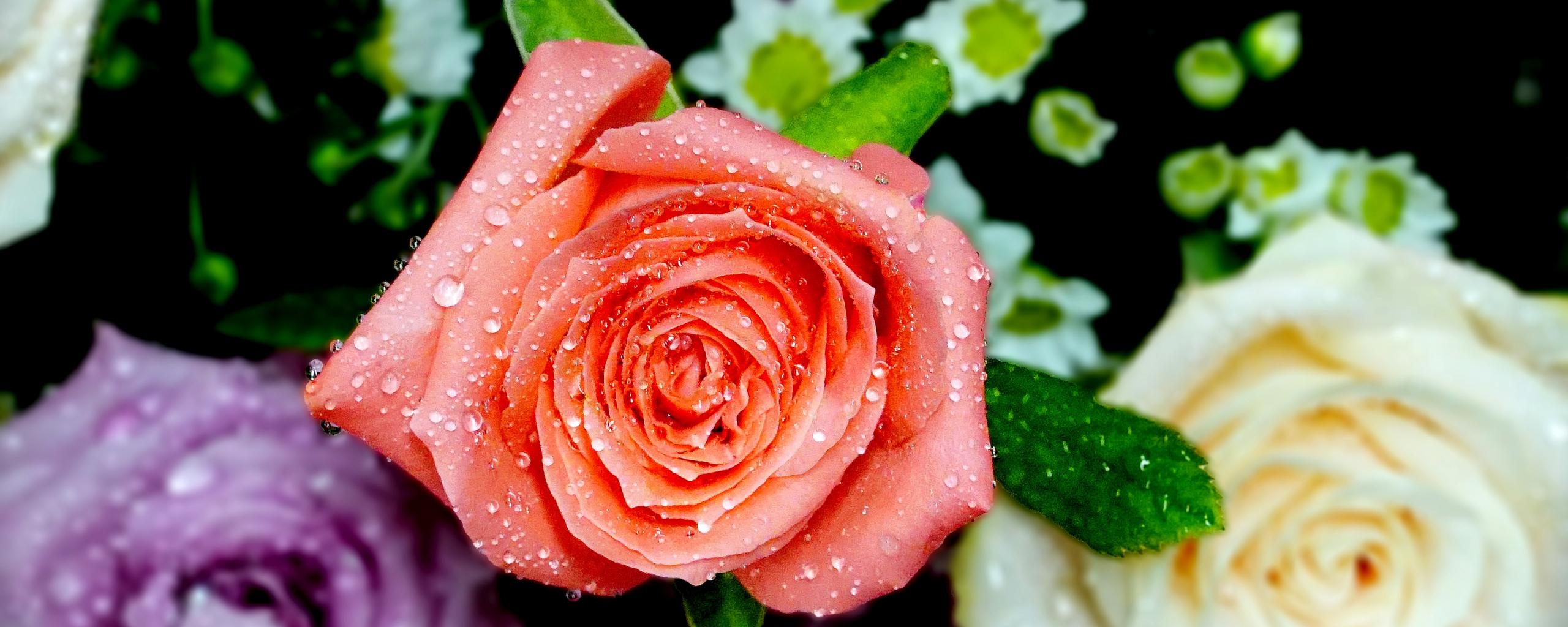 2560x1024 wallpaper Roses, flowers, water drops