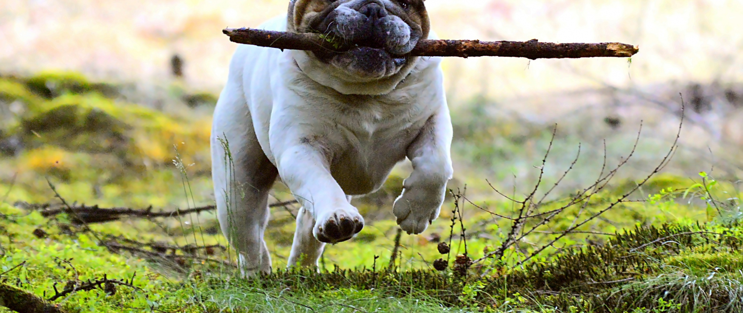 2560x1080 wallpaper Dog, pet bulldog, run, play