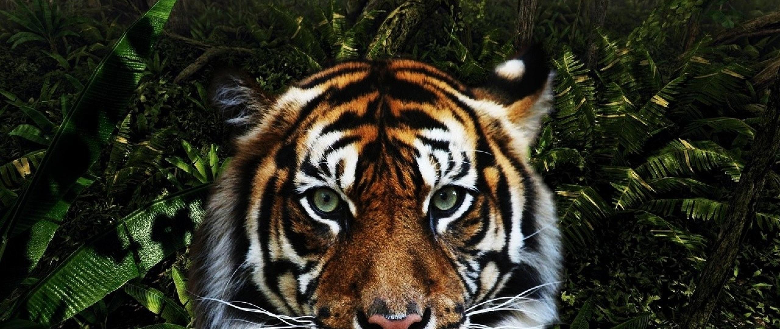 download 2560x1080 wallpaper king of jungle tiger, dual wide