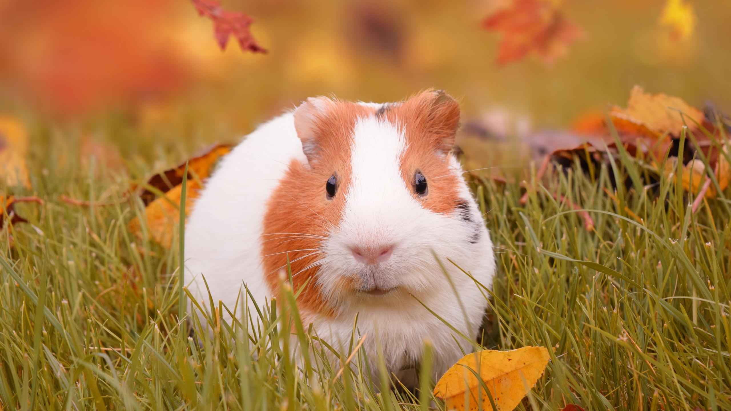 Download 2560x1440 Wallpaper Cute, Rodent, Guinea Pig, 5k