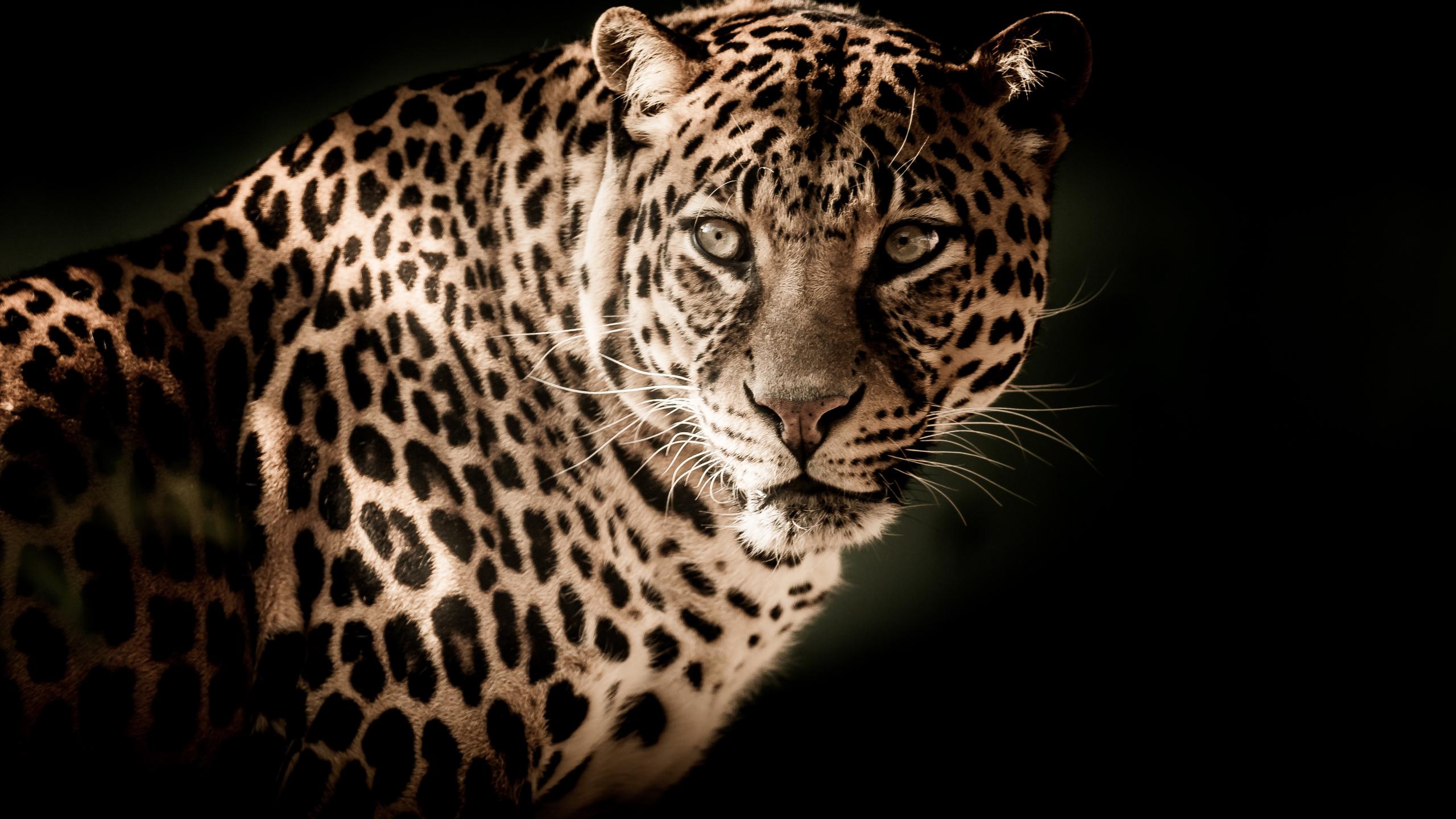 Desktop Wallpaper Leopard Predator Muzzle Wild Cat Portrait 4k Hd Image Picture Background 513602