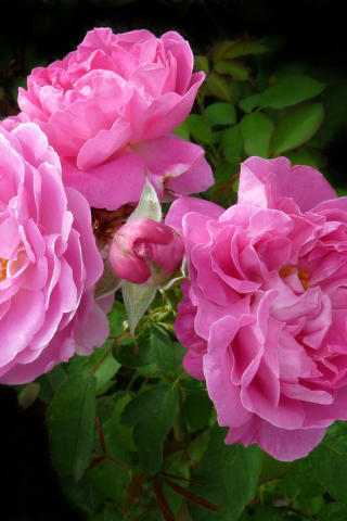 Download 240x320 Wallpaper Deep Pink Roses Blossom Flowers Old