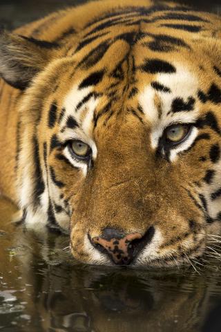 Download 240x320 Wallpaper Tiger Predator Wild Muzzle 4k Old