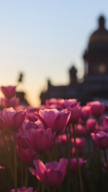 360x640 wallpaper Pink Tulips, flowers farm, sunset