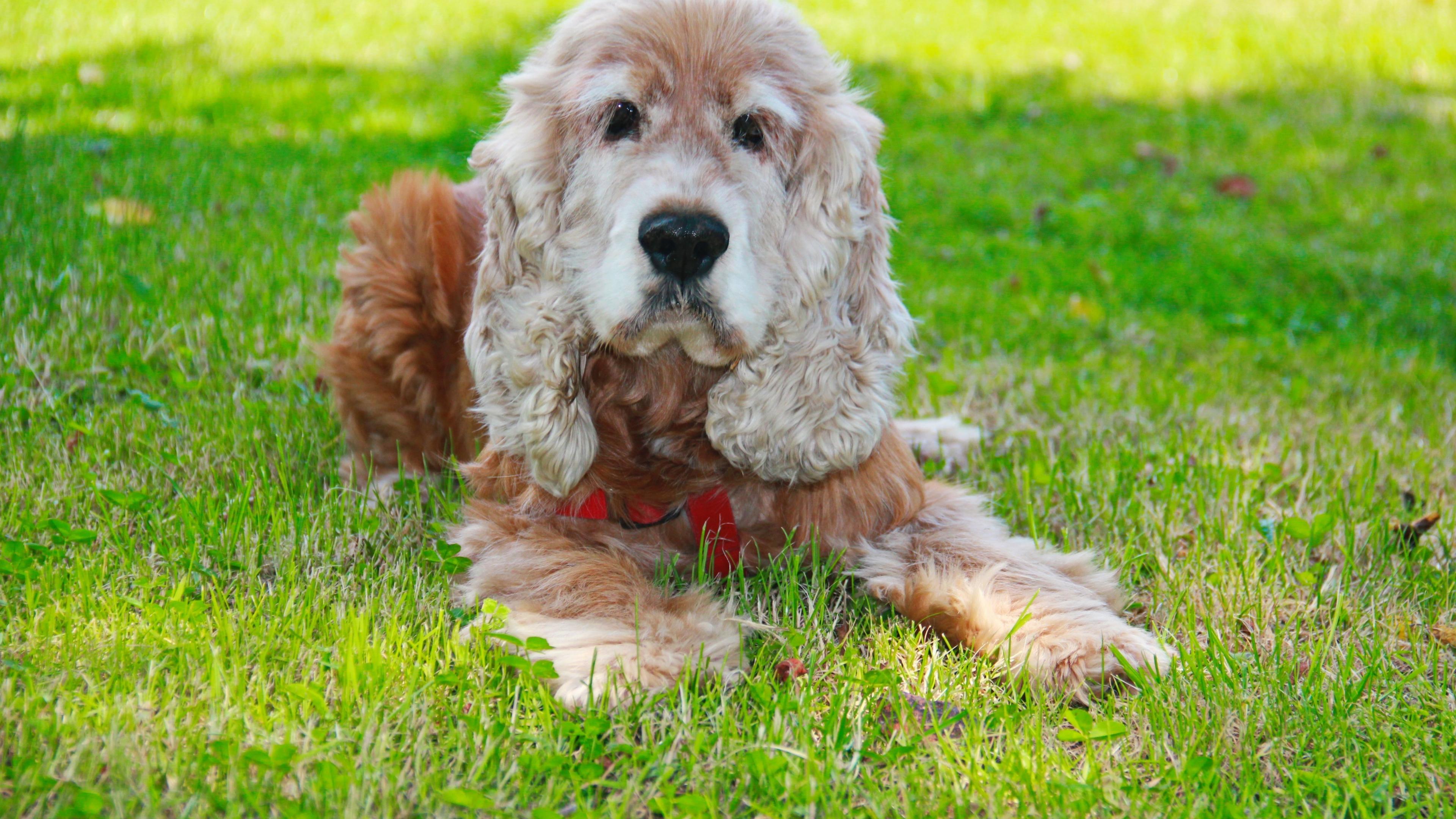 Download 3840x2160 Wallpaper Cute Dog Cocker Spaniel 5k 4 K Uhd