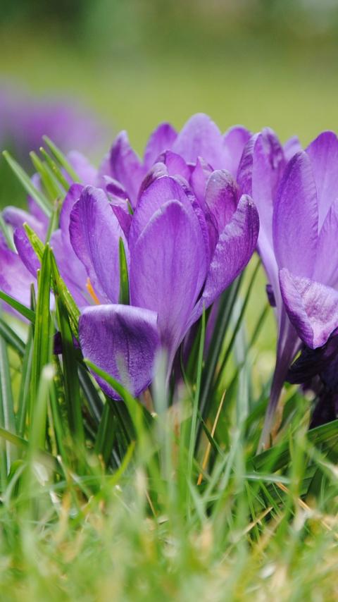 480x854 wallpaper Purple crocus, flowers, grass, bloom