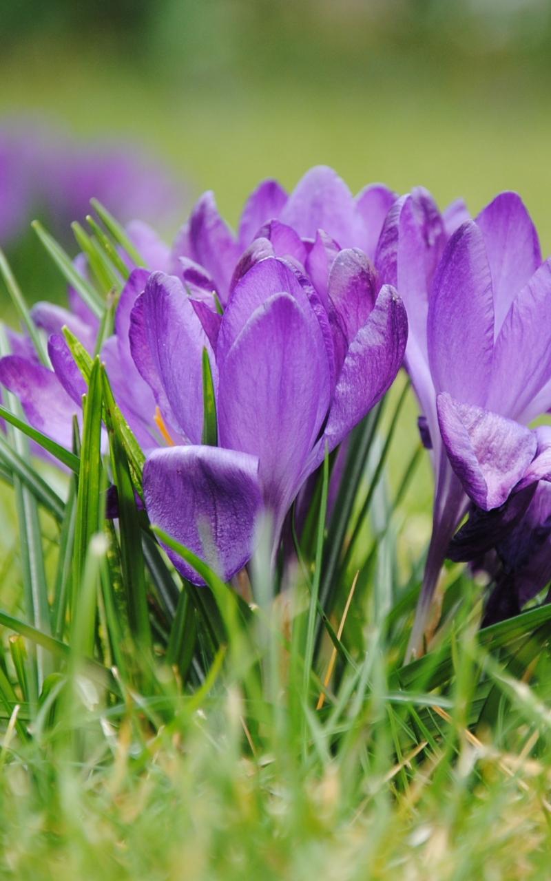 800x1280 wallpaper Purple crocus, flowers, grass, bloom