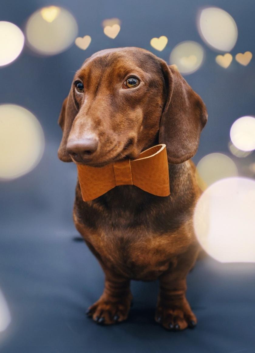 840x1160 wallpaper Cute, dachshund, dog, animal