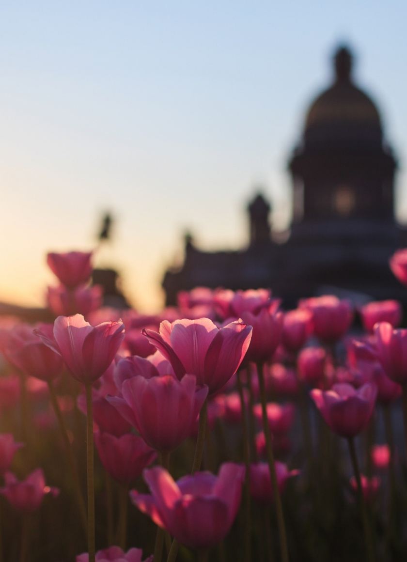 840x1160 wallpaper Pink Tulips, flowers farm, sunset