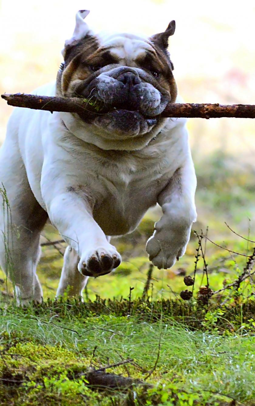 840x1336 wallpaper Dog, pet bulldog, run, play