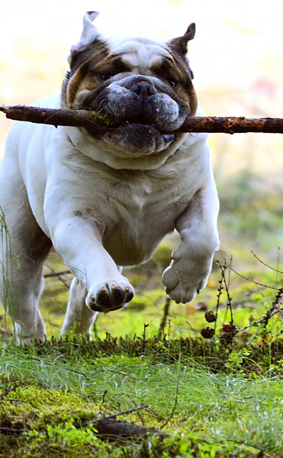 950x1534 wallpaper Dog, pet bulldog, run, play