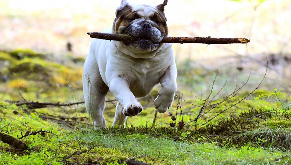 960x544 wallpaper Dog, pet bulldog, run, play