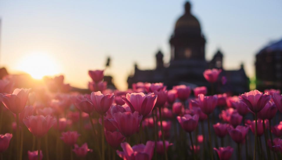 960x544 wallpaper Pink Tulips, flowers farm, sunset