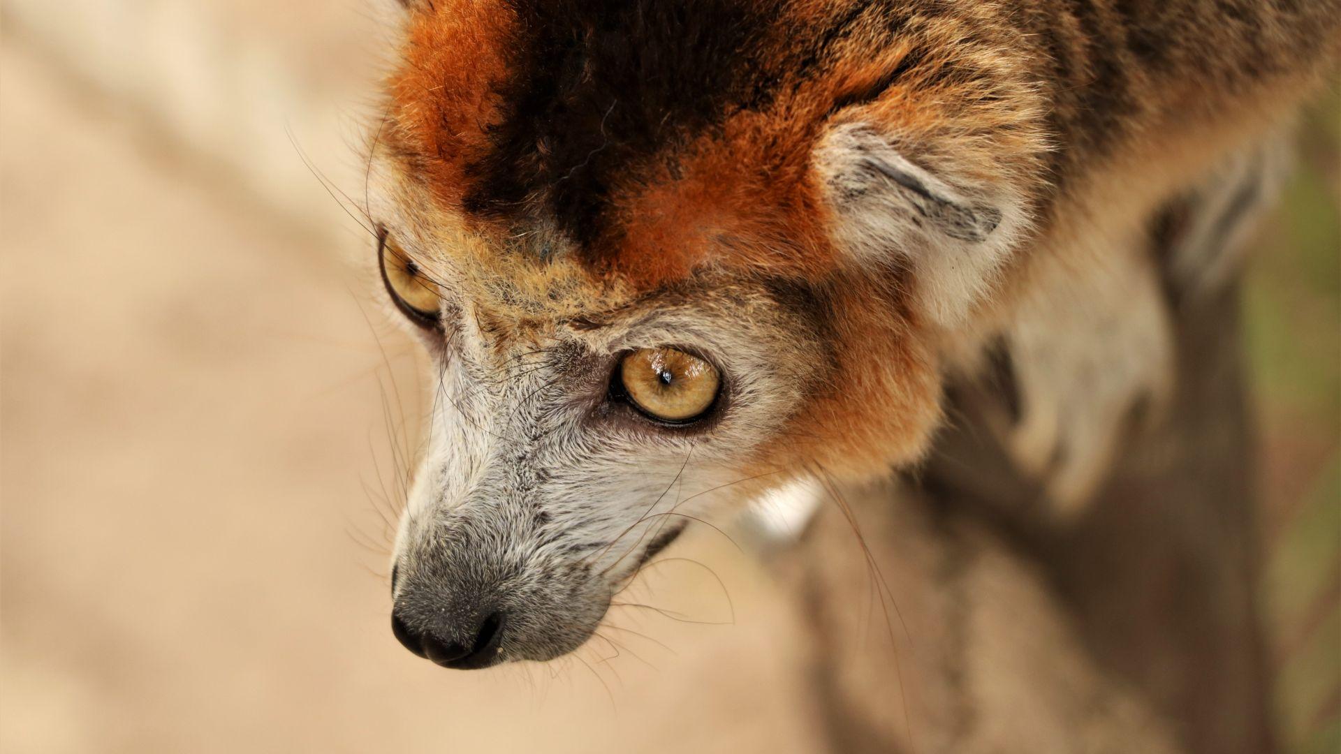 Wallpaper Crowned lemur, animal, wildlife, head