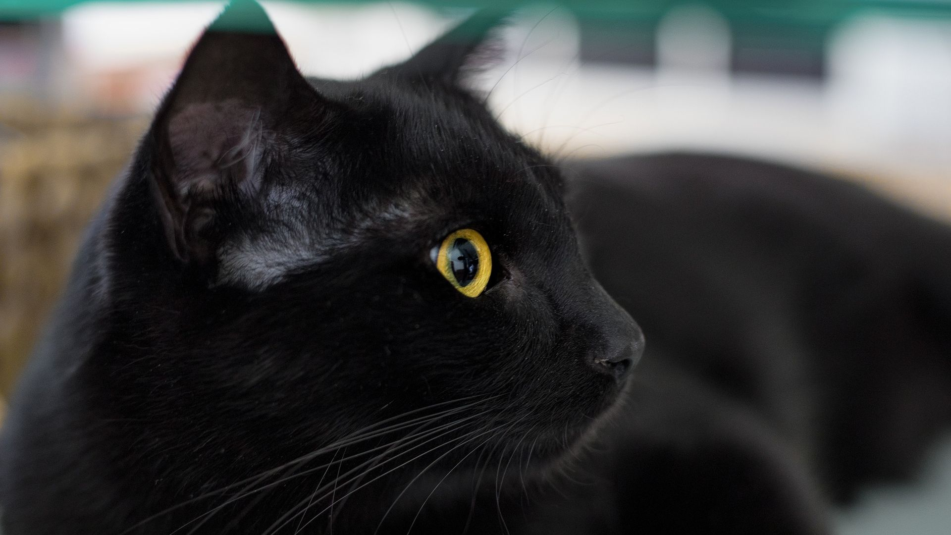 Desktop Wallpaper Black Cat Stare Muzzle Fur Yellow Eyes Hd Image Picture Background 077f06