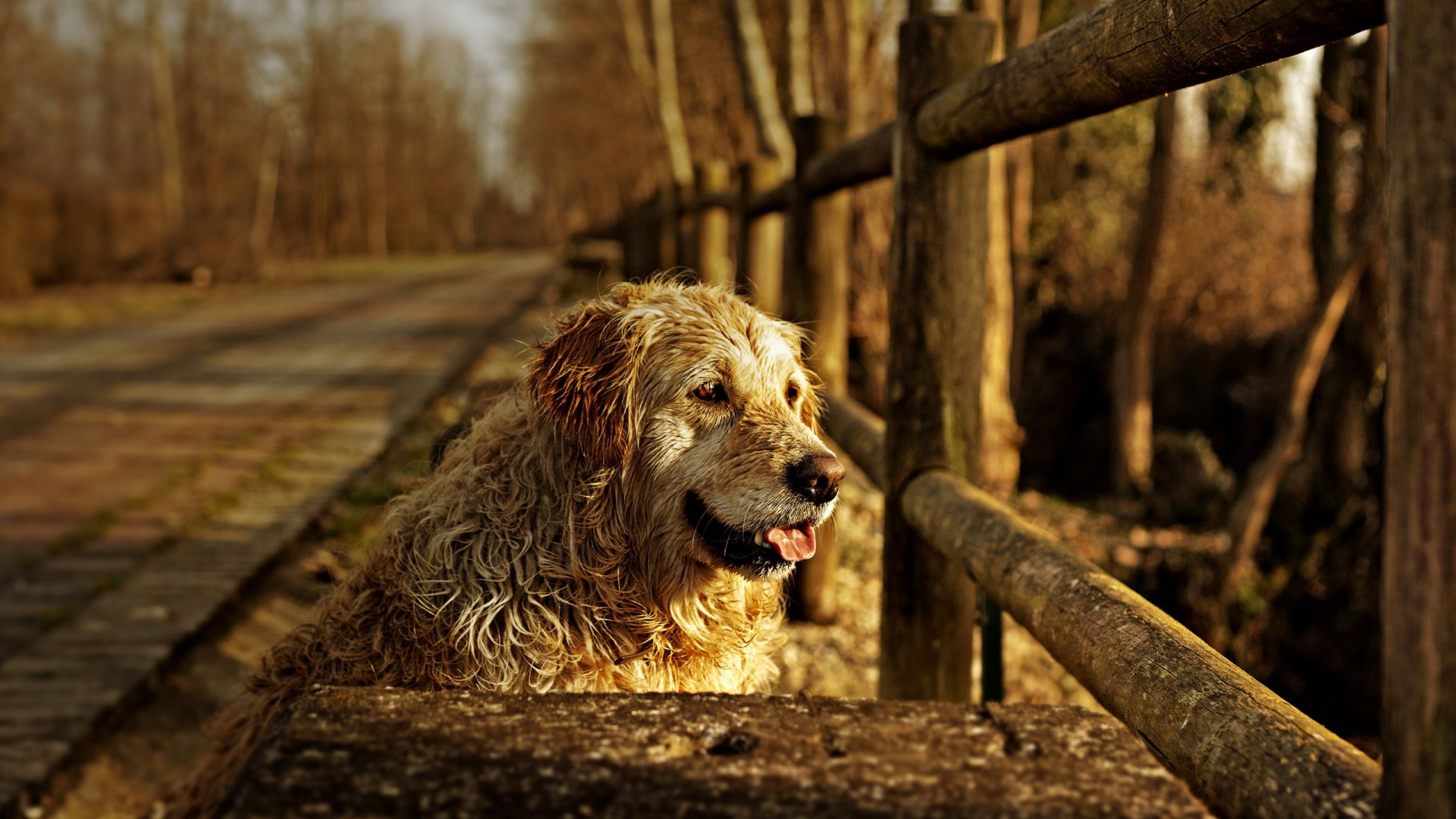 Wallpaper Furry, animal, wooden fence, dog