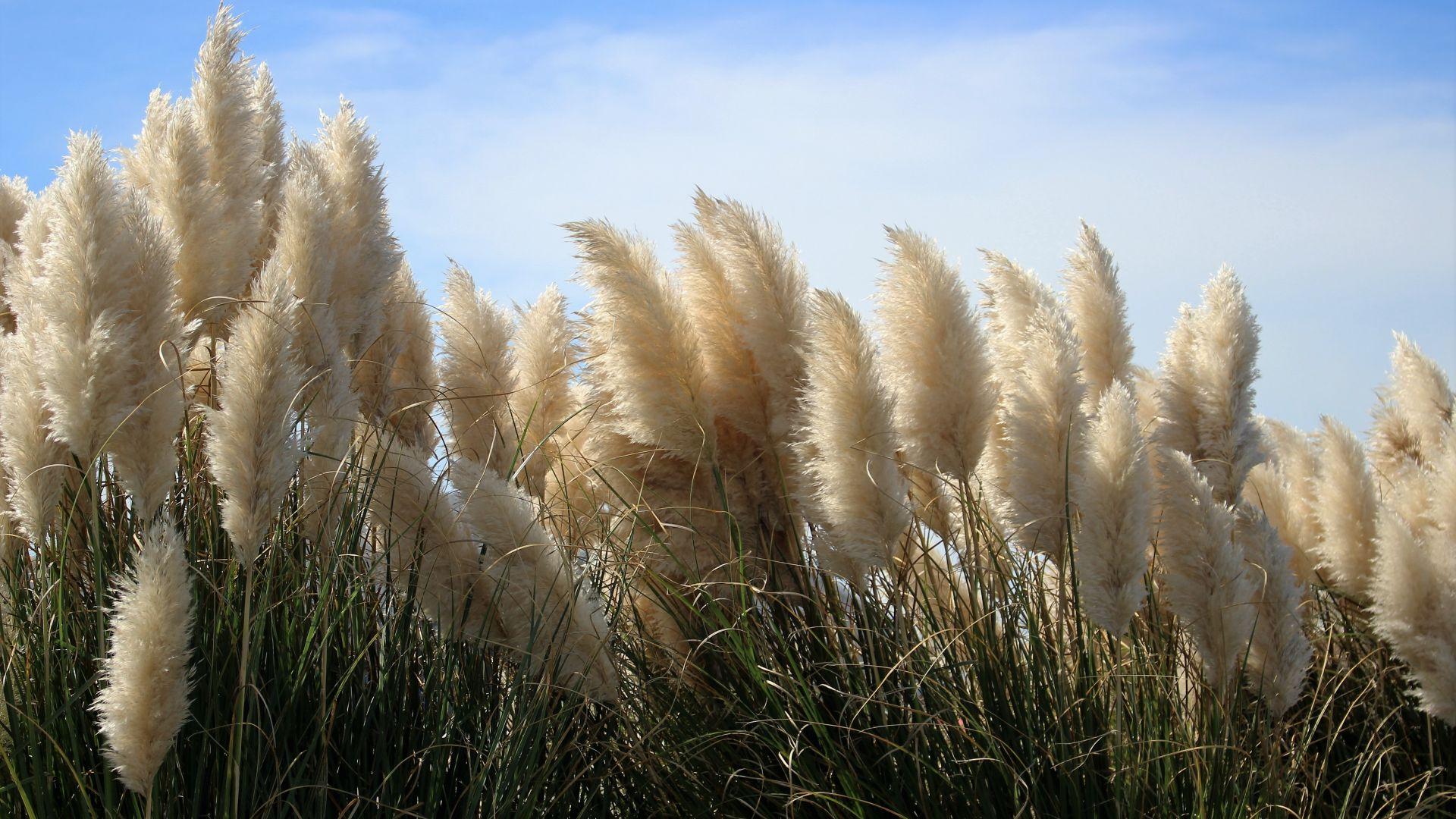 Wallpaper Hatteras grass, pampas, meadow