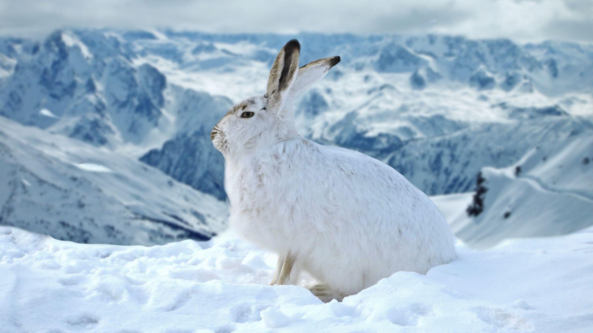 Wallpaper Bunny, rabbit, animal, winter, outdoor