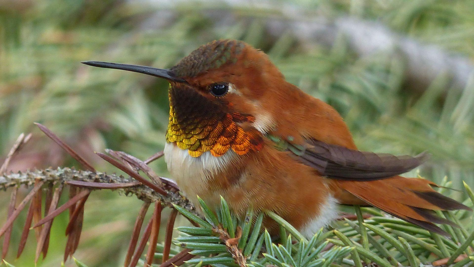 Wallpaper Hummingbird, close up, 4k