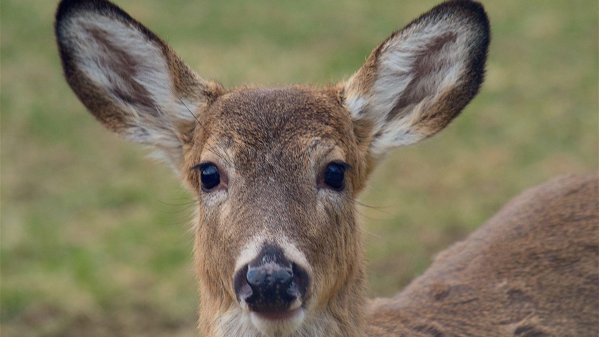 Wallpaper Deer muzzle, cute animal, wildlife