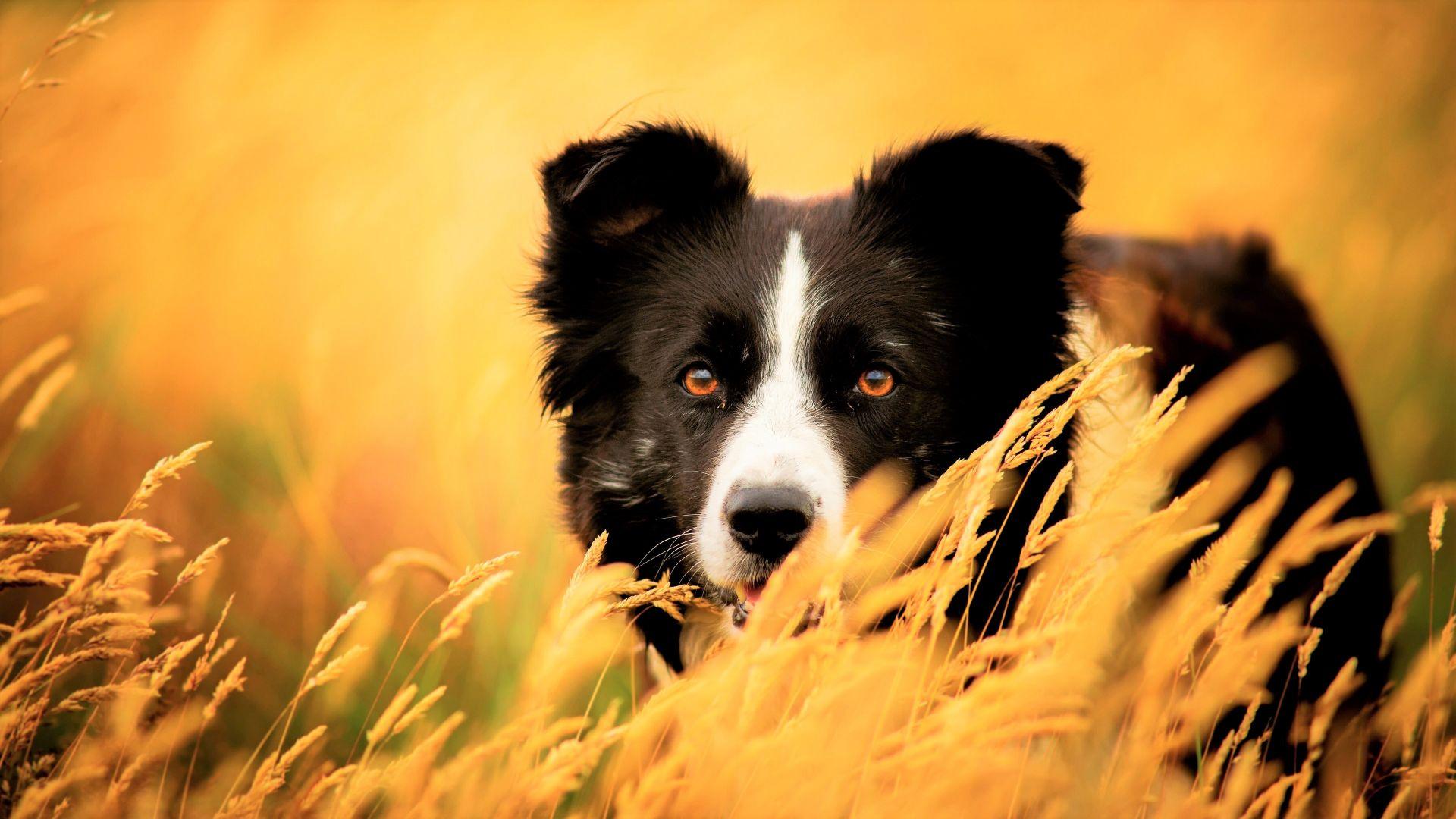 Wallpaper Border Collie, black dog, plants