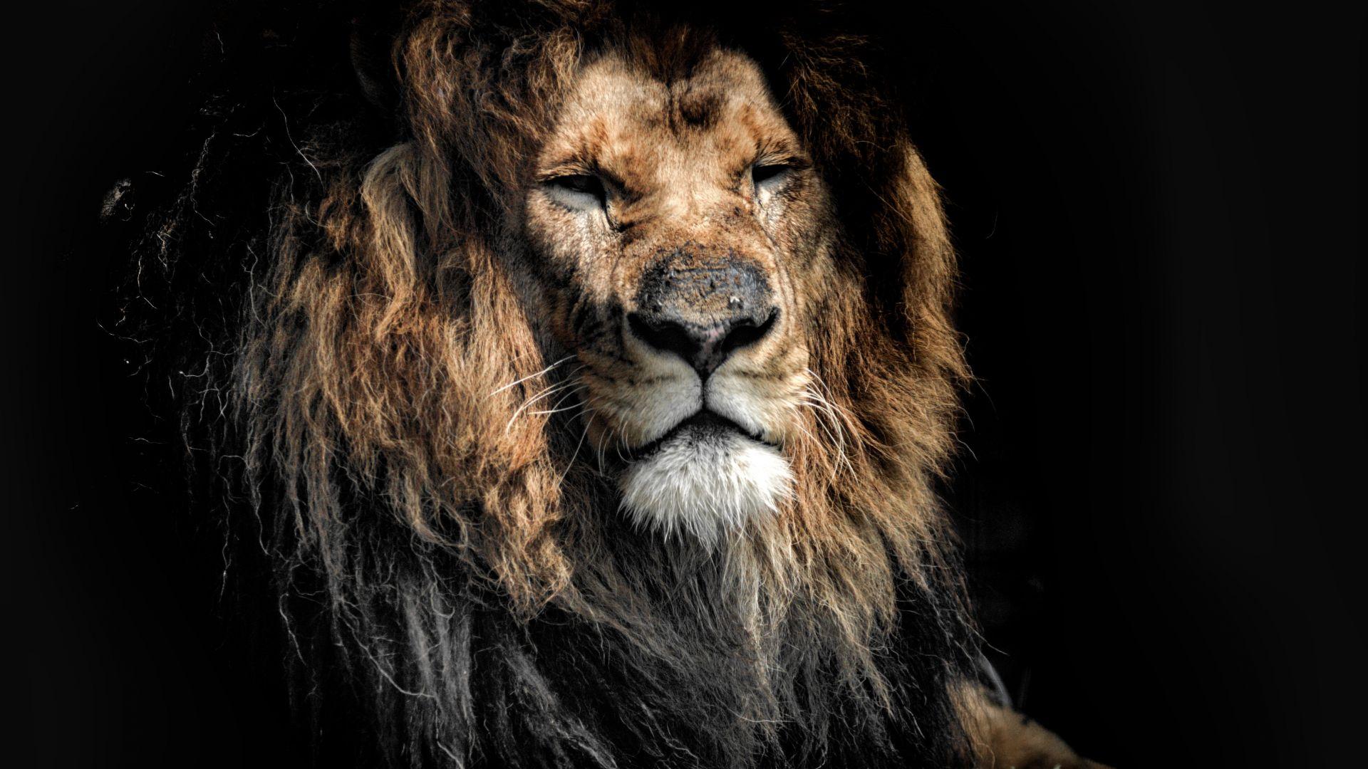 Desktop Wallpaper Aged Lion Beast Predator Muzzle 4k Hd
