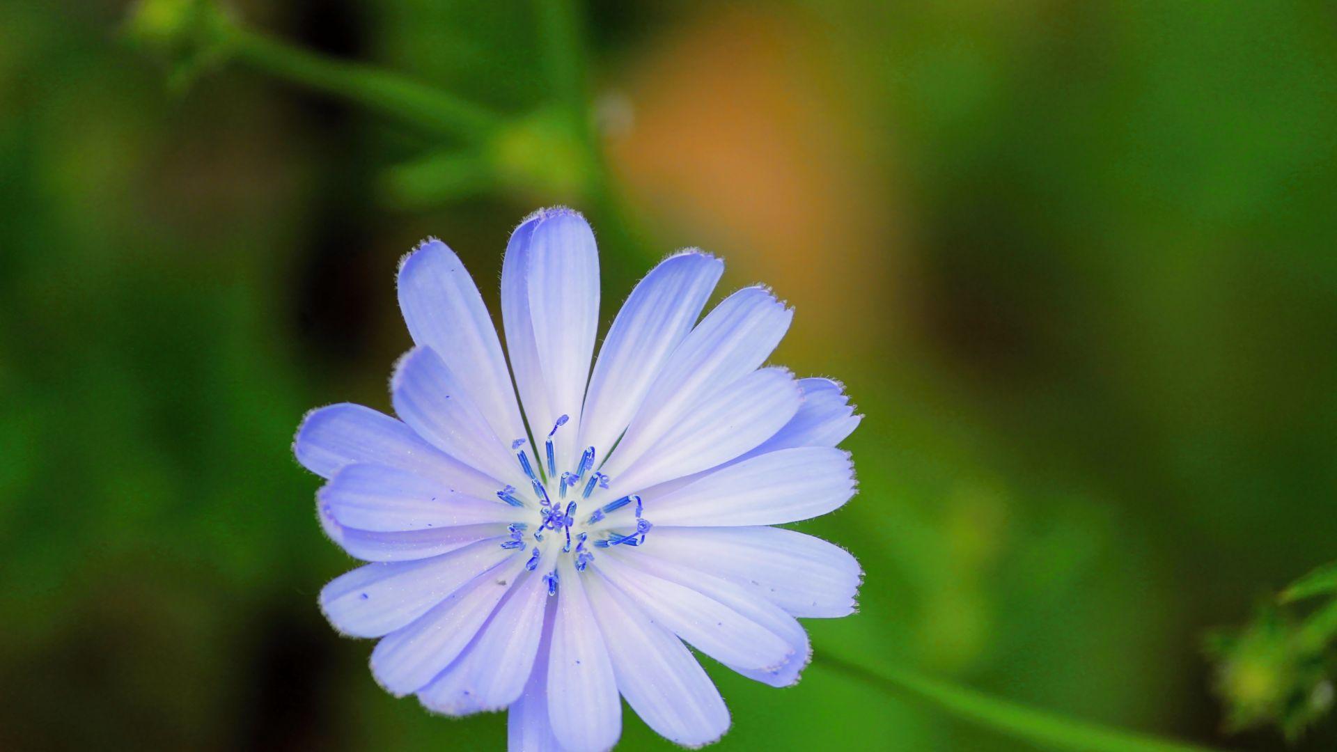 Wallpaper Chicory, blue flower, blossom