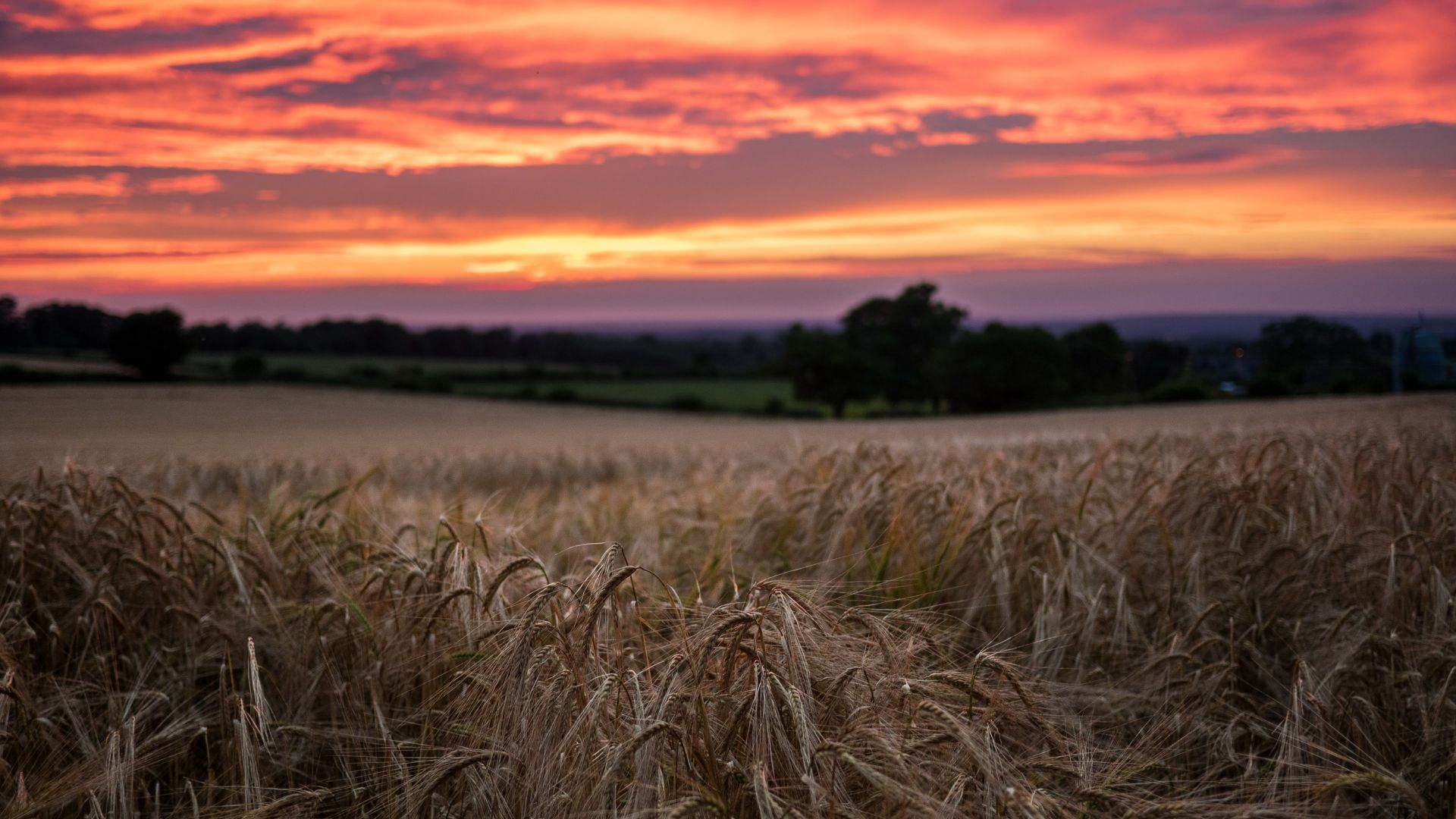 Wallpaper Red sunset and wheat field