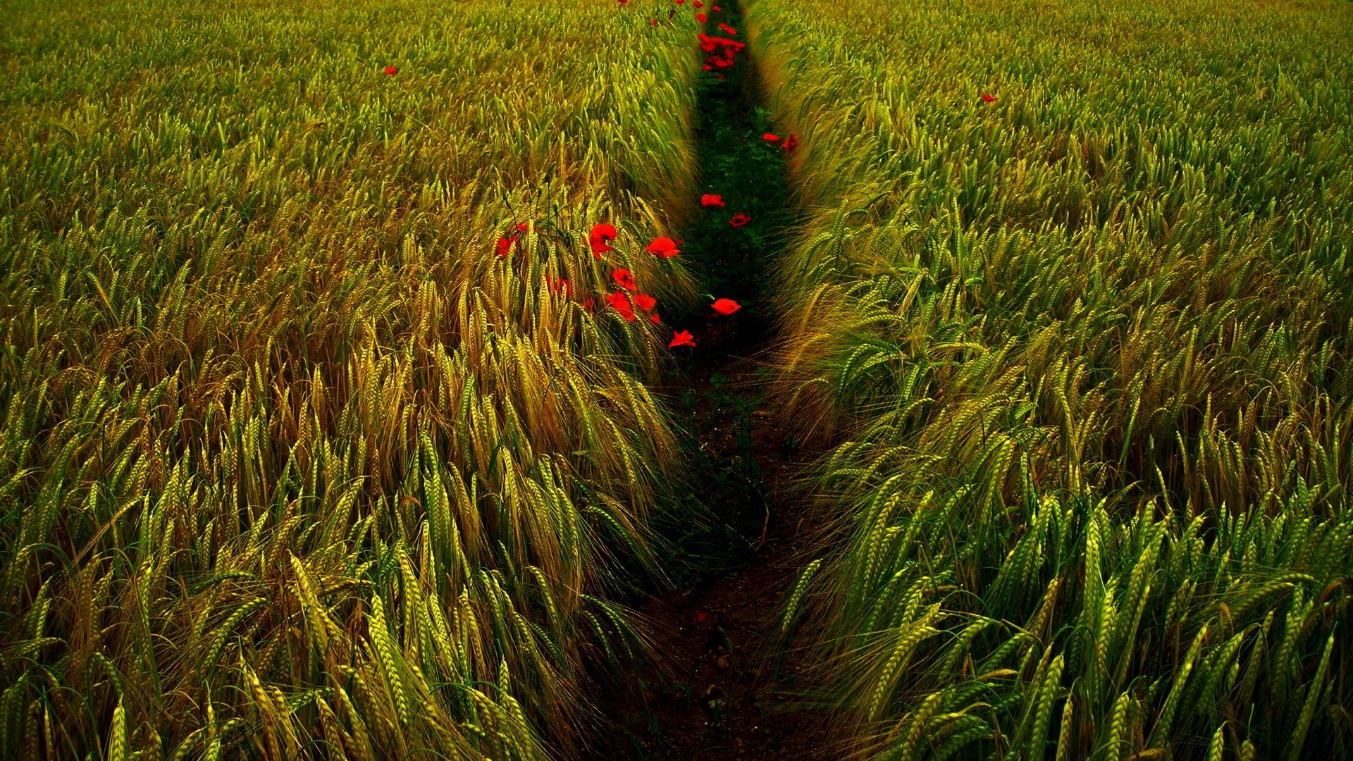 Wheat field, green grass field