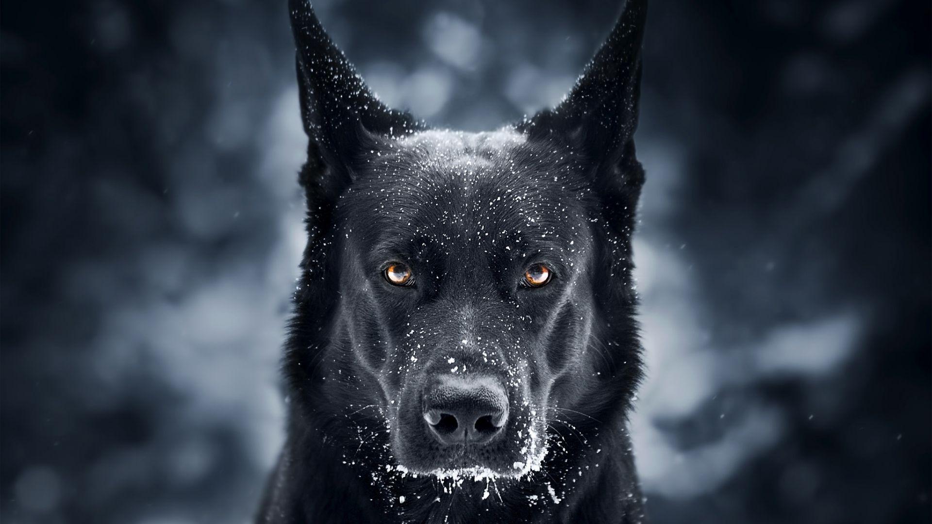 Wallpaper Black dog, German shepherd, muzzle