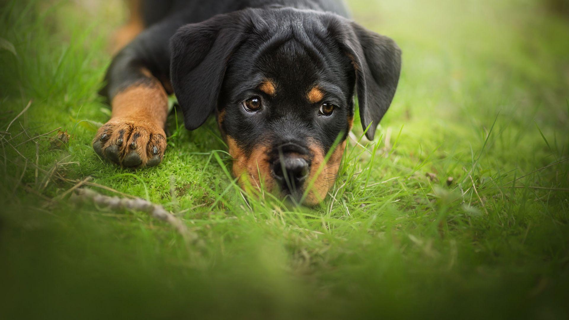 Relaxed Dog Puppy Rottweiler Wallpaper