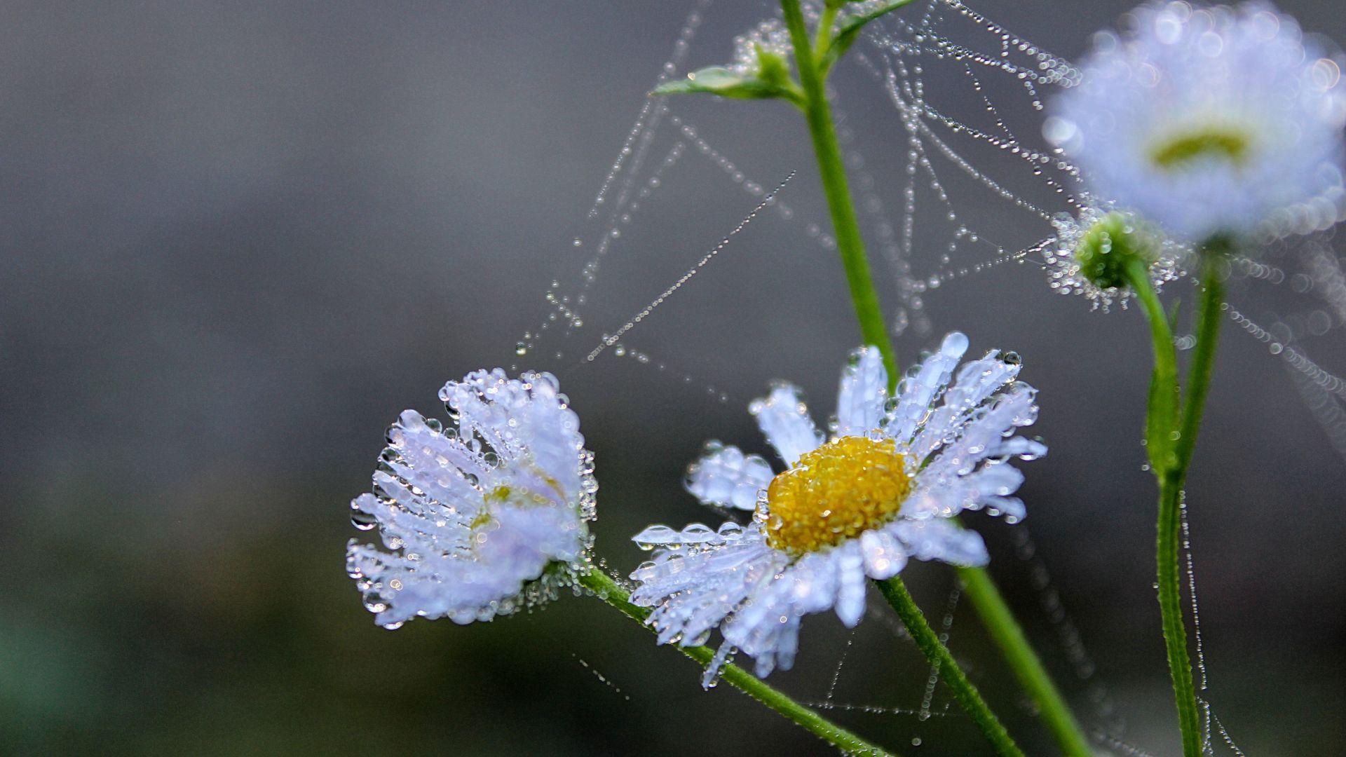 Wallpaper Flower, water drops, daisy, spider web