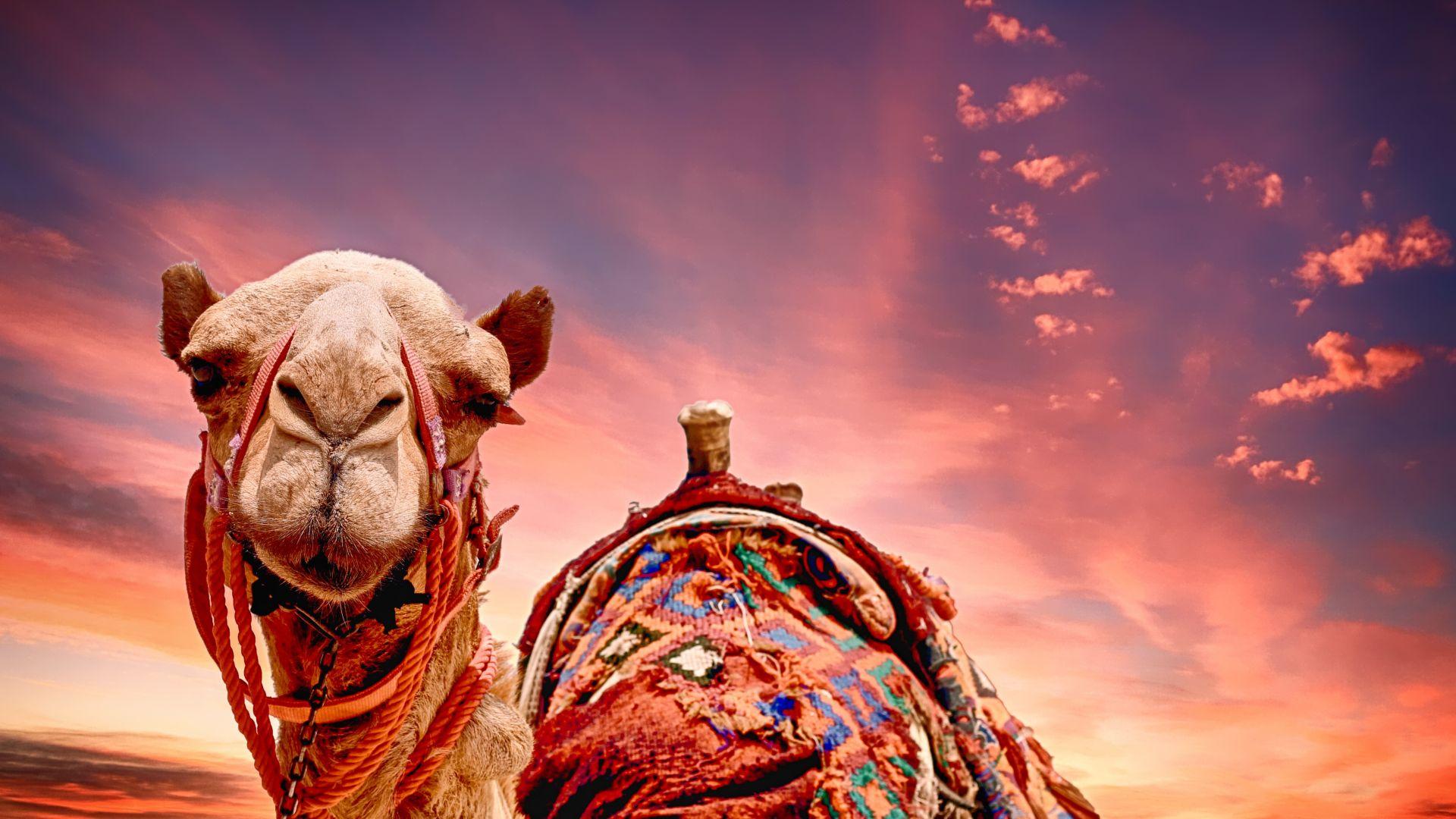 Desktop Wallpaper Camel Sunset Desert Animal Hd Image