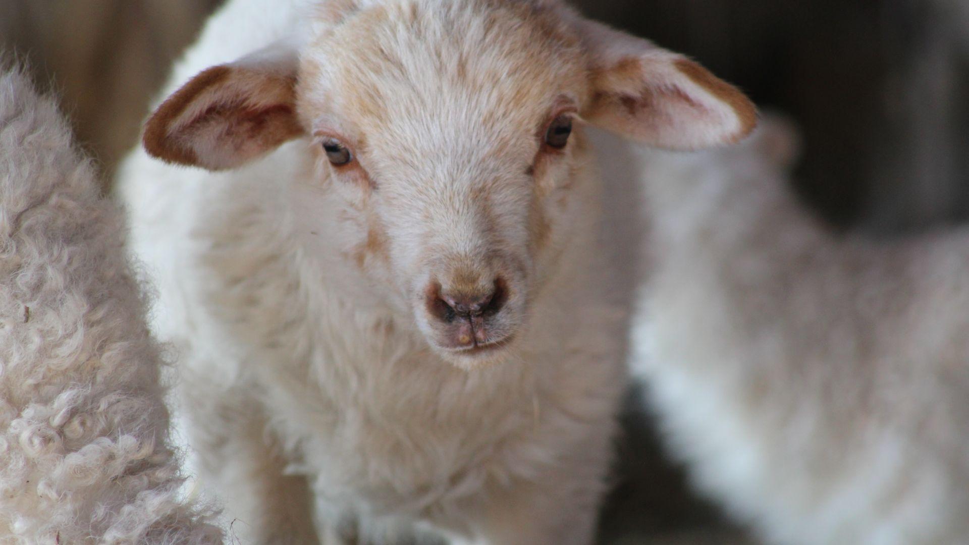Cute Baby Sheep Lamb White Animal Wallpaper