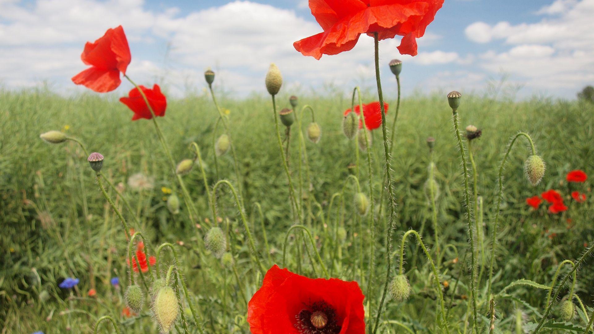 Desktop wallpaper poppy flowers field red flower hd image picture poppy flowers field red flower wallpaper mightylinksfo