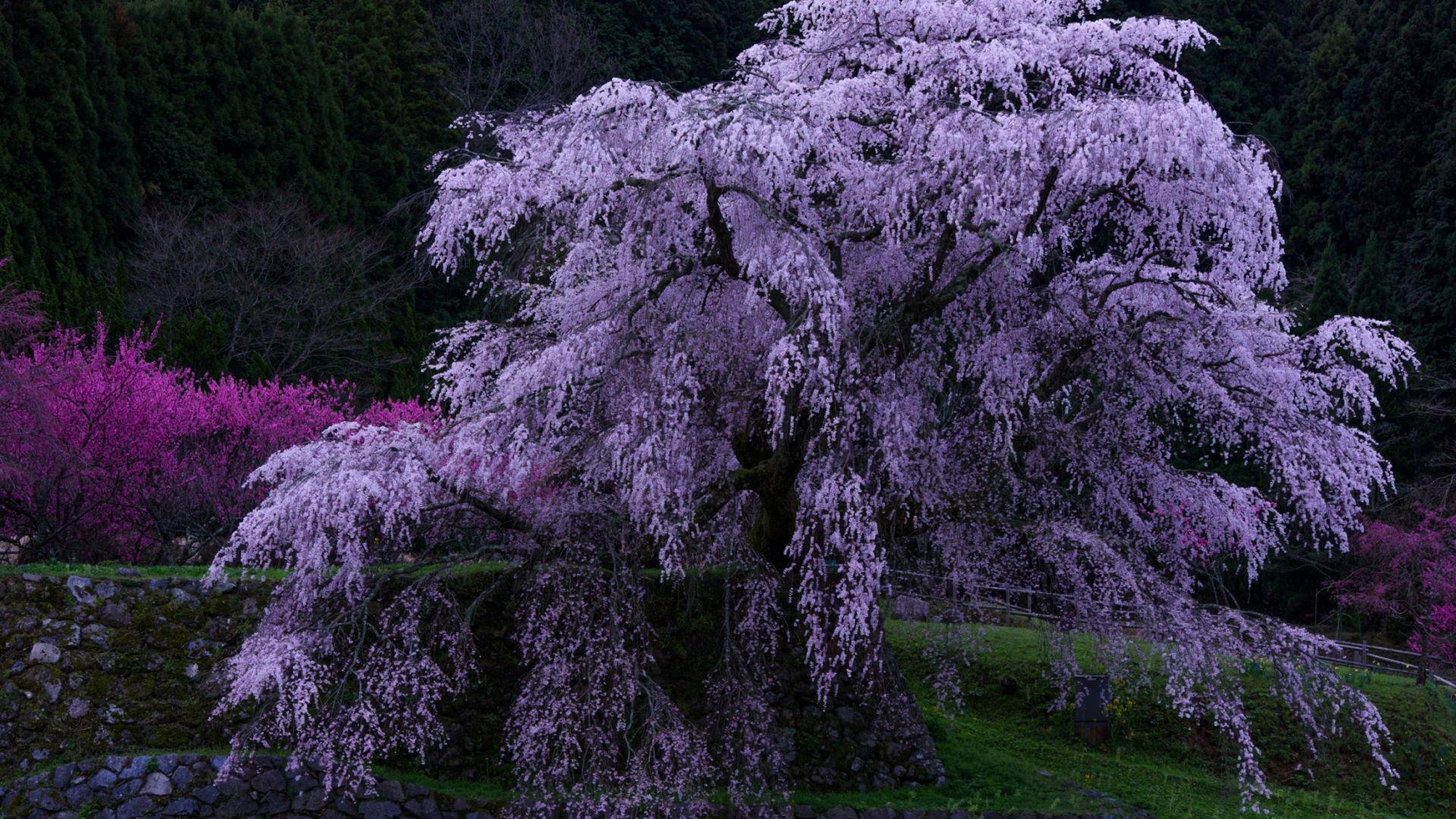Wallpaper Purple leaves, flowers, blossom, tree