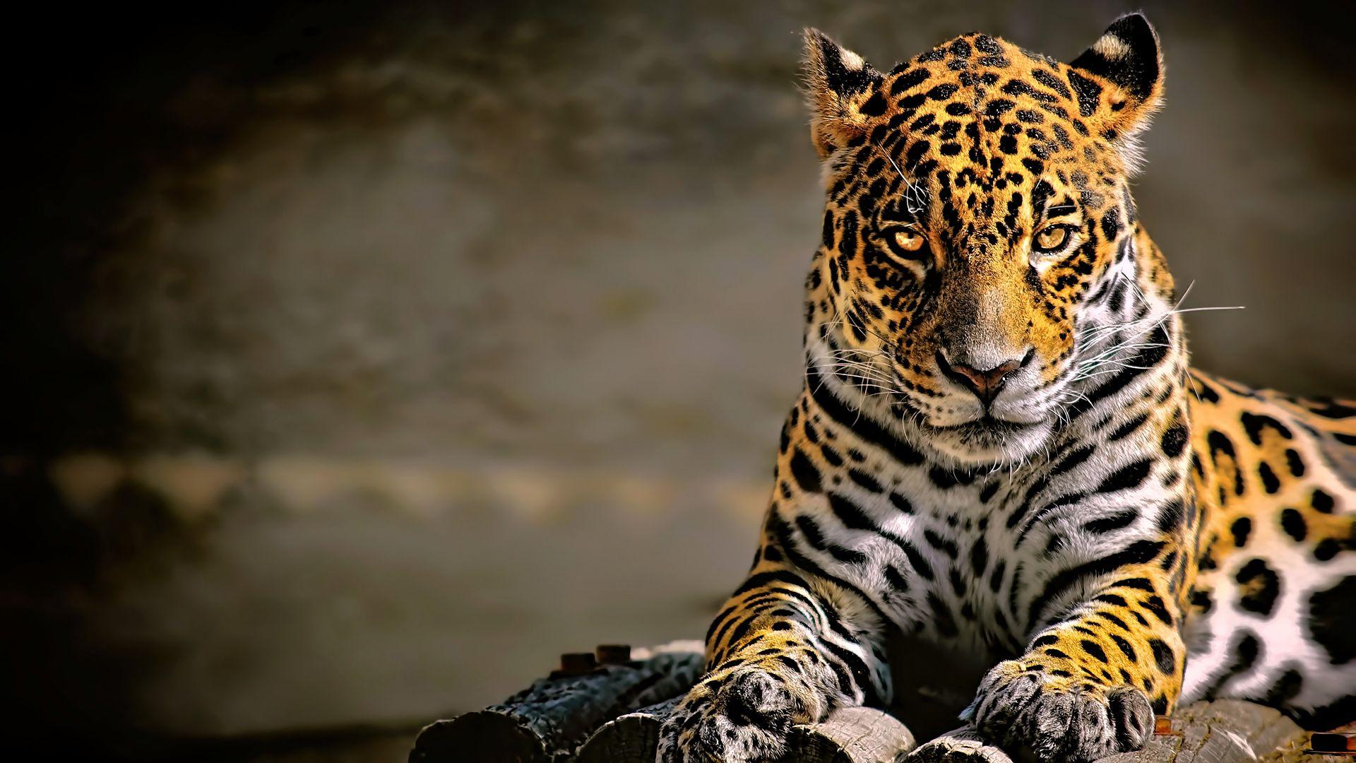 Wallpaper Confident, predator, leopard, animal, 4k