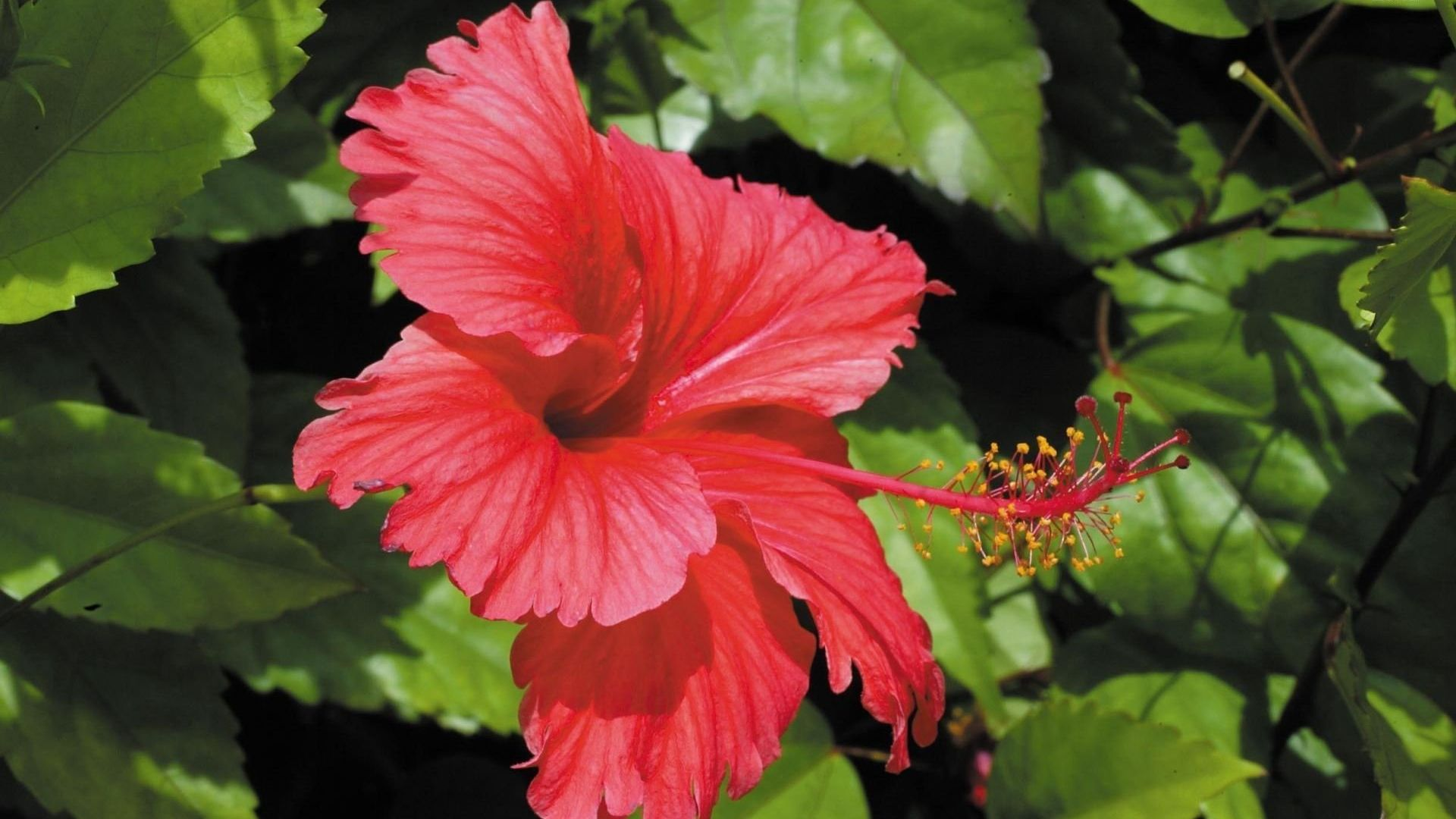 Wallpaper Red Hibiscus flower, close up