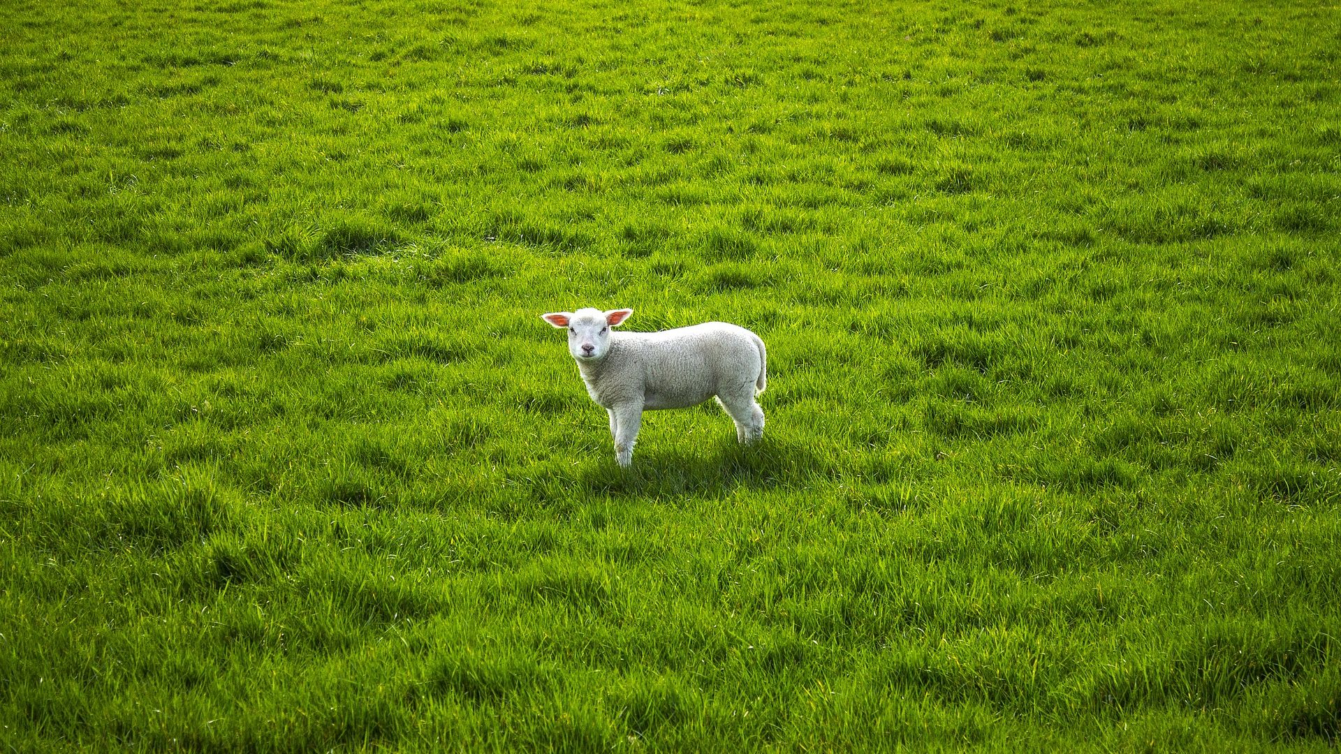 Sheep Lamb Cute Grass Field Wallpaper