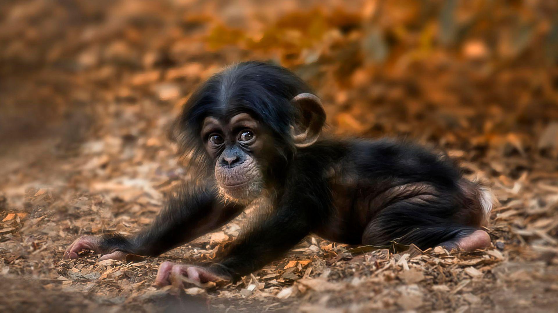 Wallpaper Baby animal, monkey, adorable
