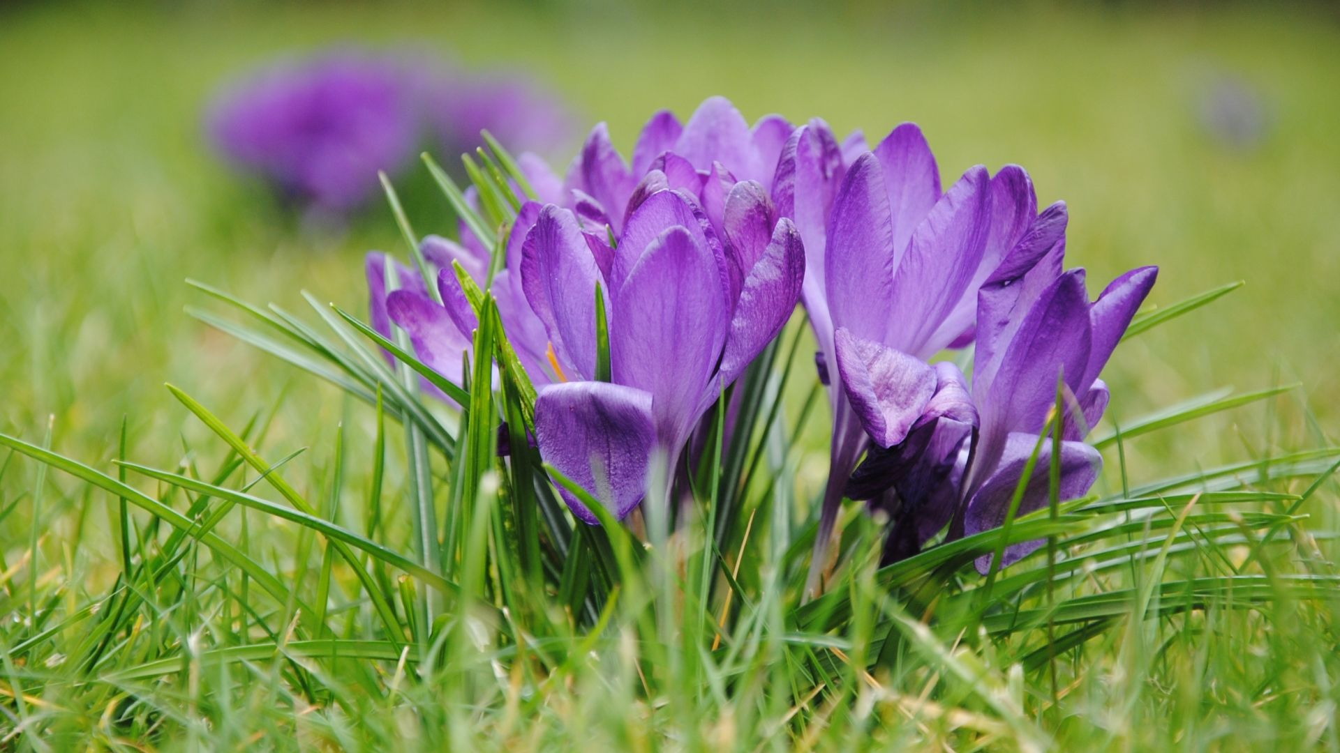 Wallpaper Purple crocus, flowers, grass, bloom