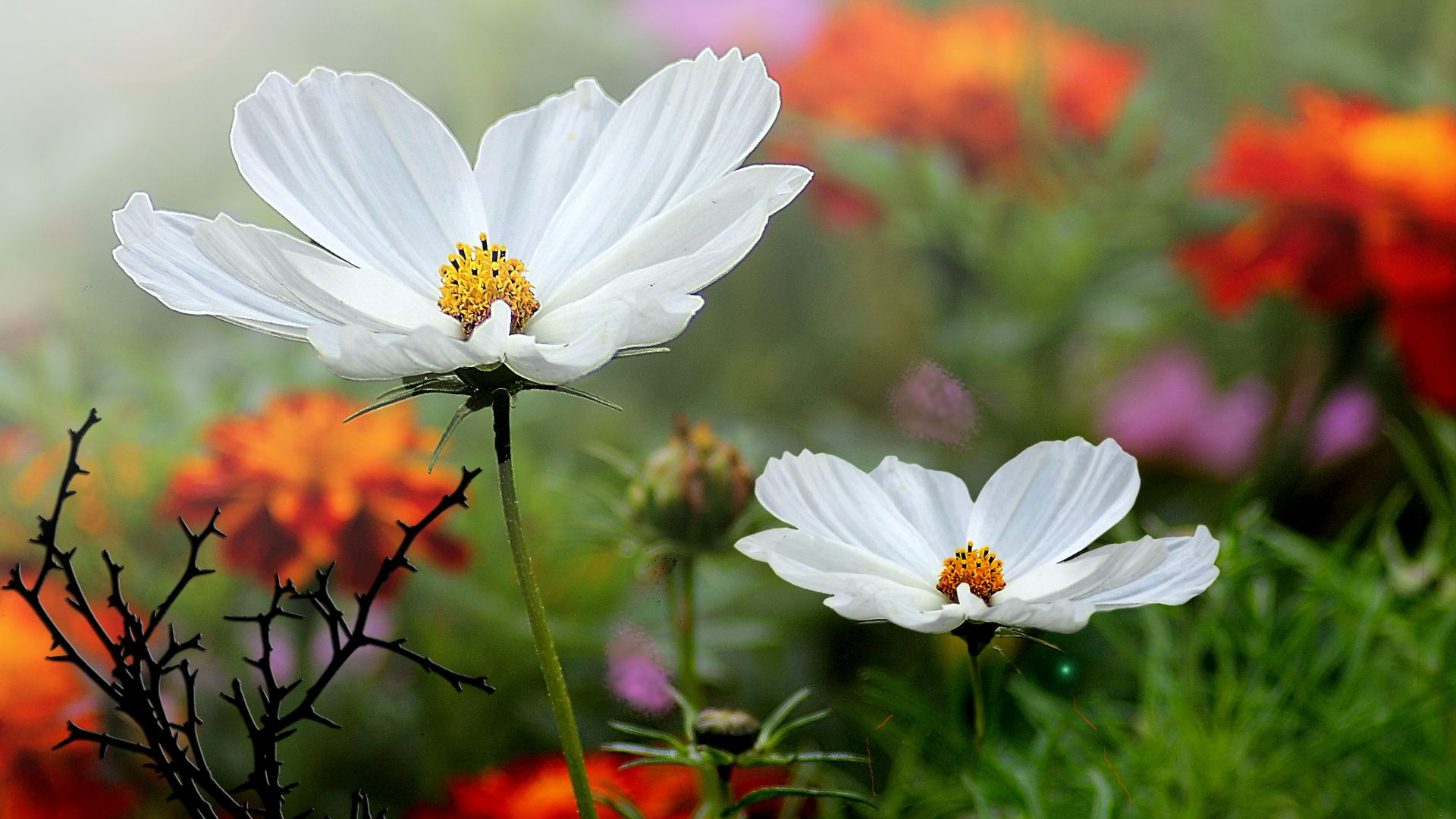 Wallpaper Cosmos, white flowers, spring, plants, 4k