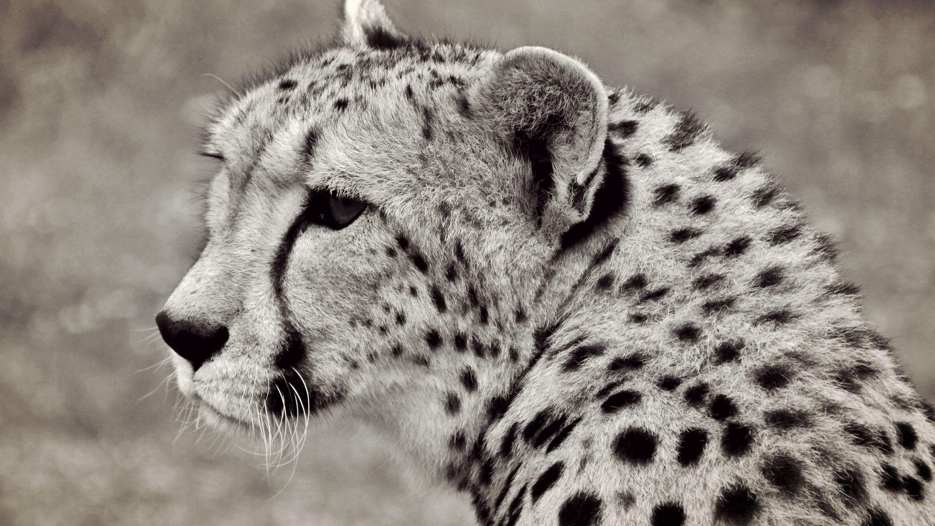Wallpaper Cheetah, predator, wild animal, monochrome