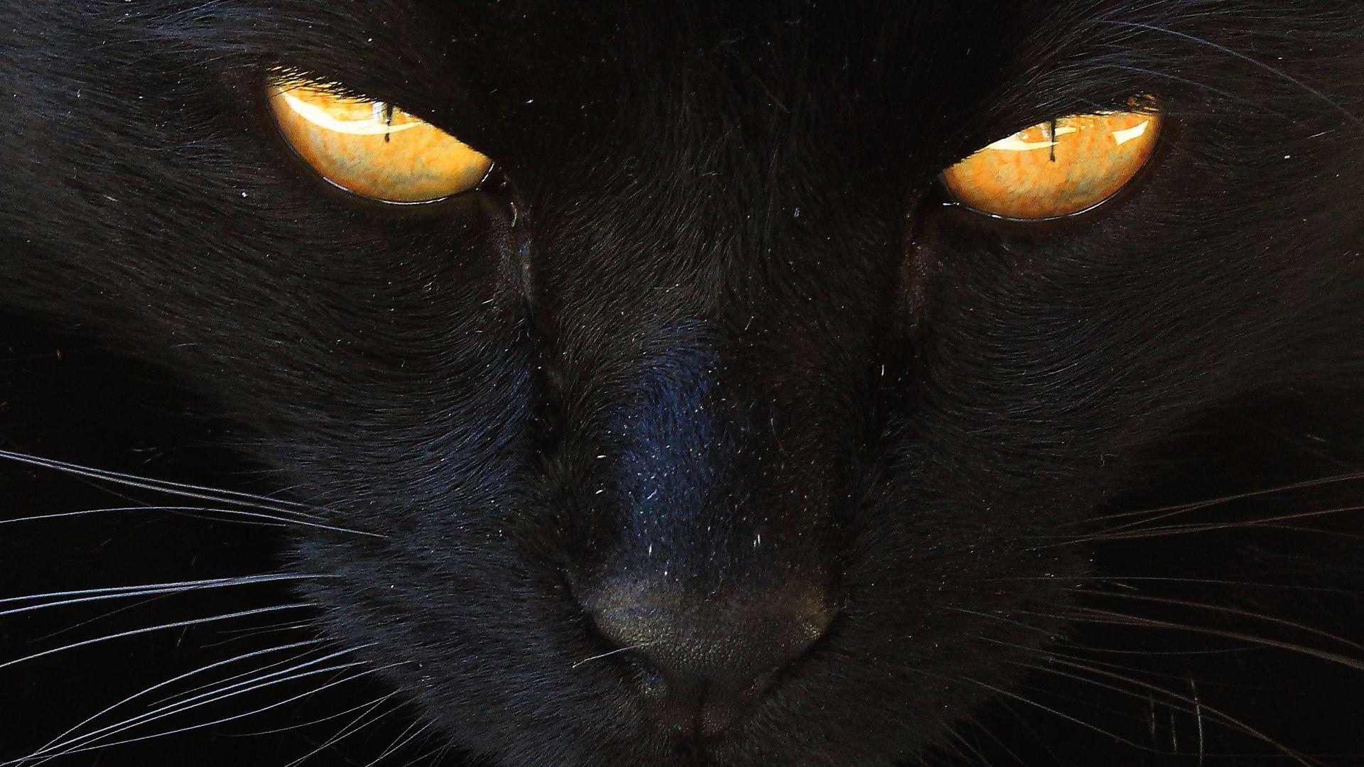 Wallpaper Pet, cat, black animal, eyes, fur, muzzle