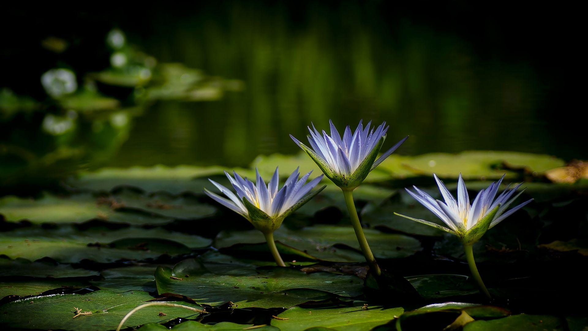Wallpaper Water lilies, purple flowers, leaves, pond