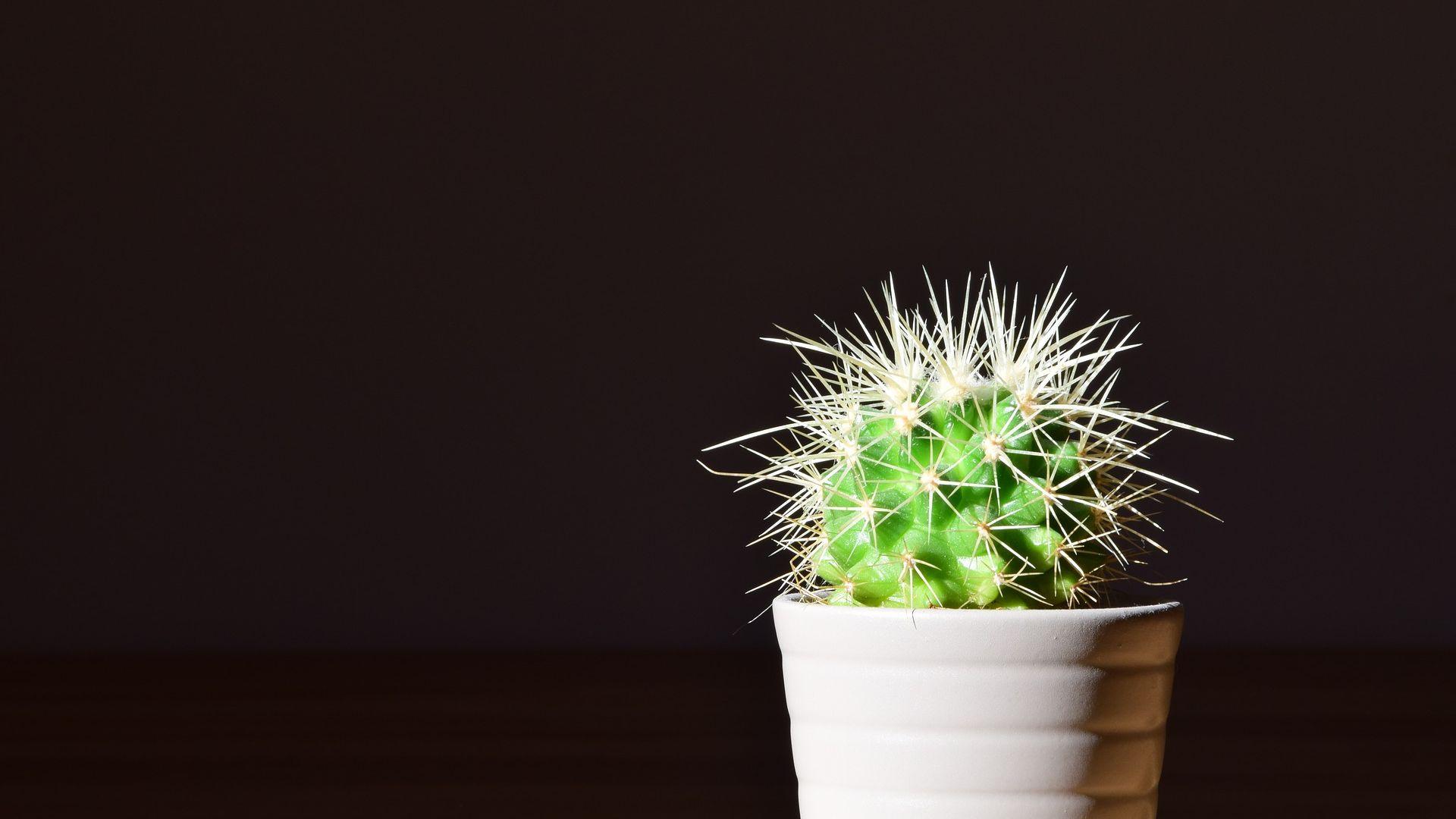 Wallpaper Cactus, flowerpot, plants