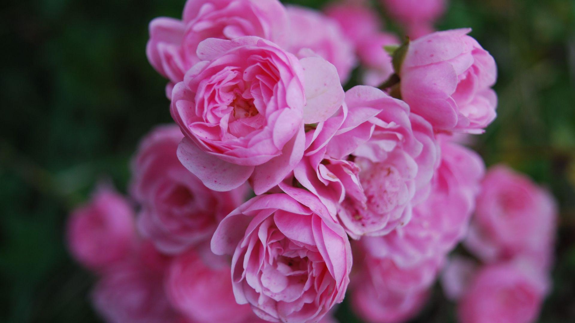 Wallpaper Pink flowers, rose, 4k