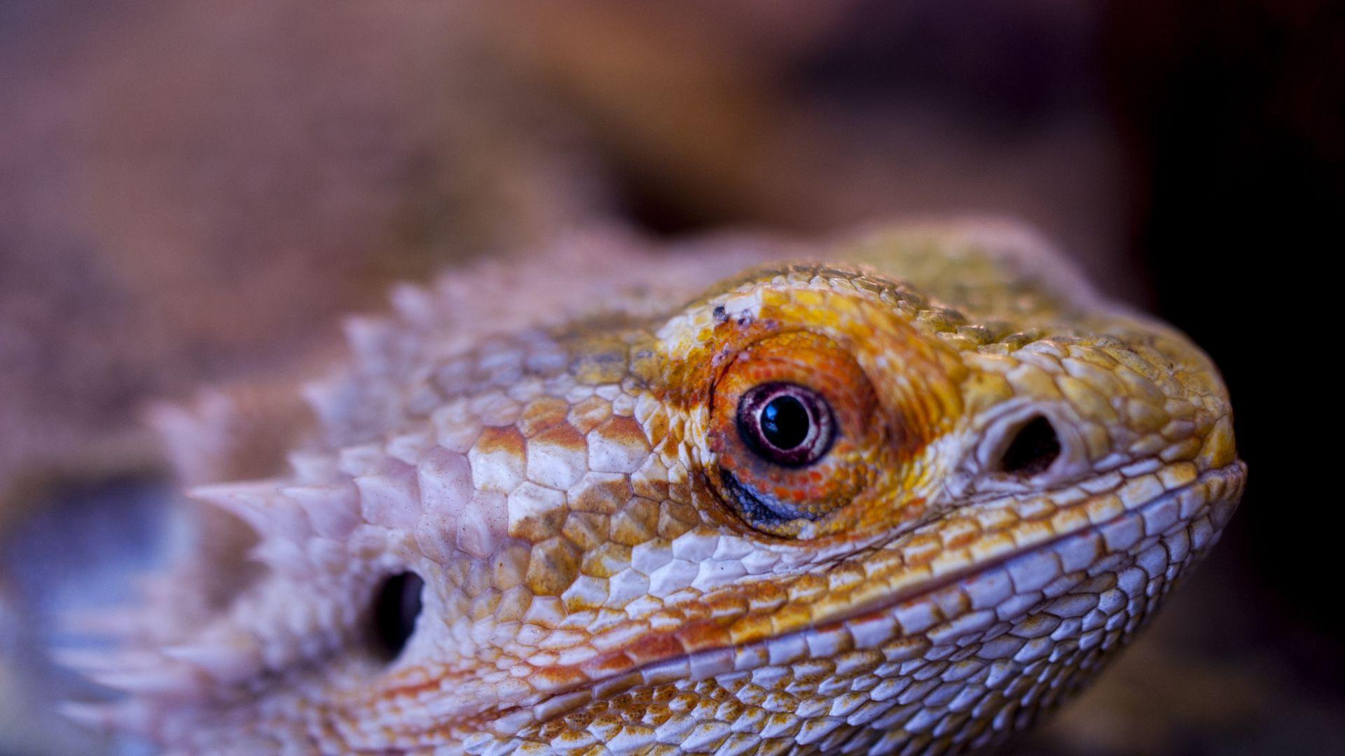 Wallpaper Bearded, Agama, lizard, reptile, muzzle