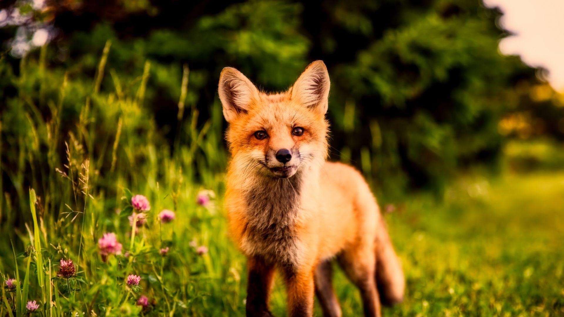 Wallpaper Cute, red fox, meadow, walk, predator