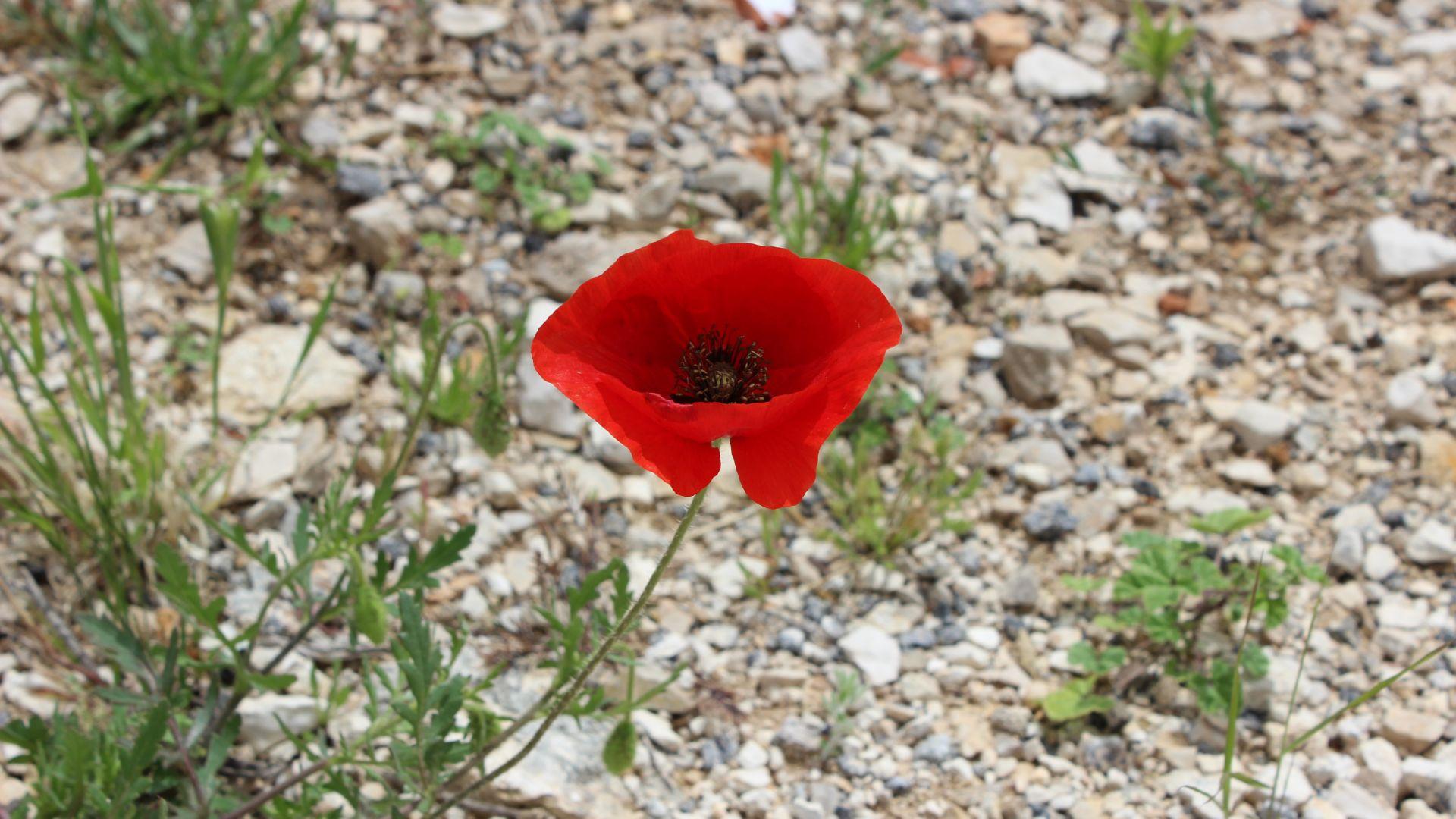 Red poppy flower, nature